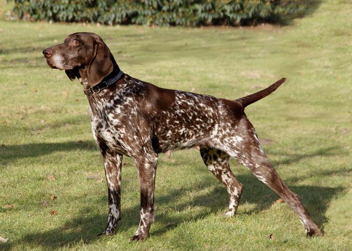 Фото собаки породы курцхаар
